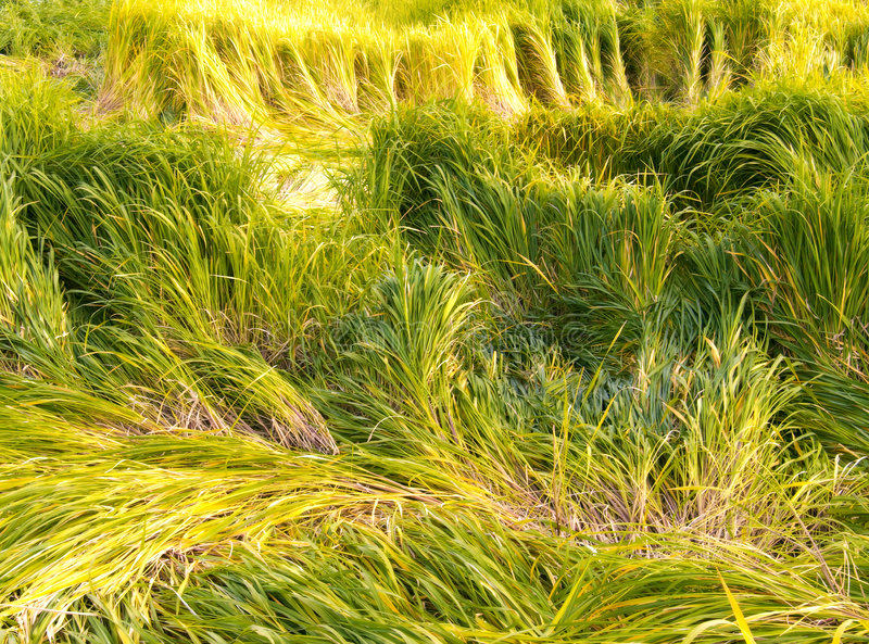 Green and yellow grass. Saturated green and yellow grass. High cane stock images