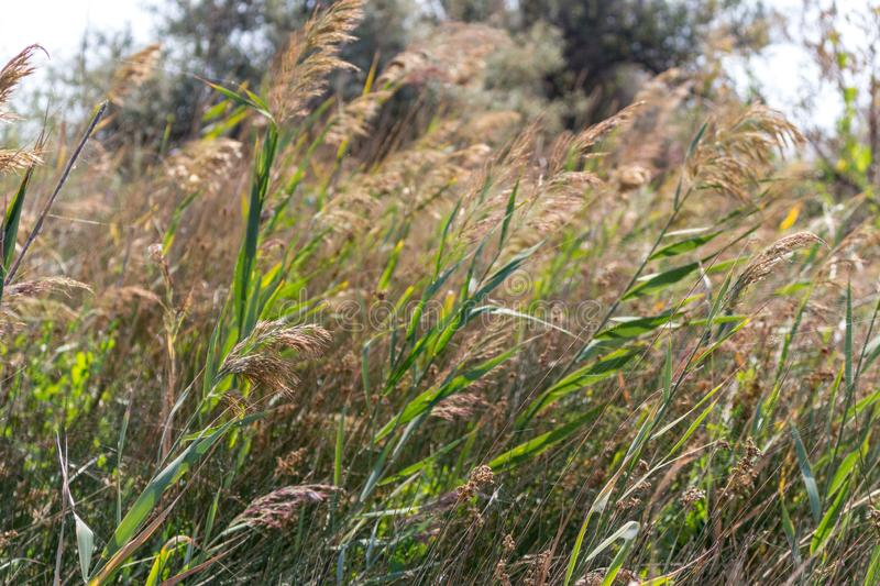 Green and yellow grass under wind in summer filed. Warm wind in meadow. Agriculture and summer nature concept. Tall reed in filed stock photos