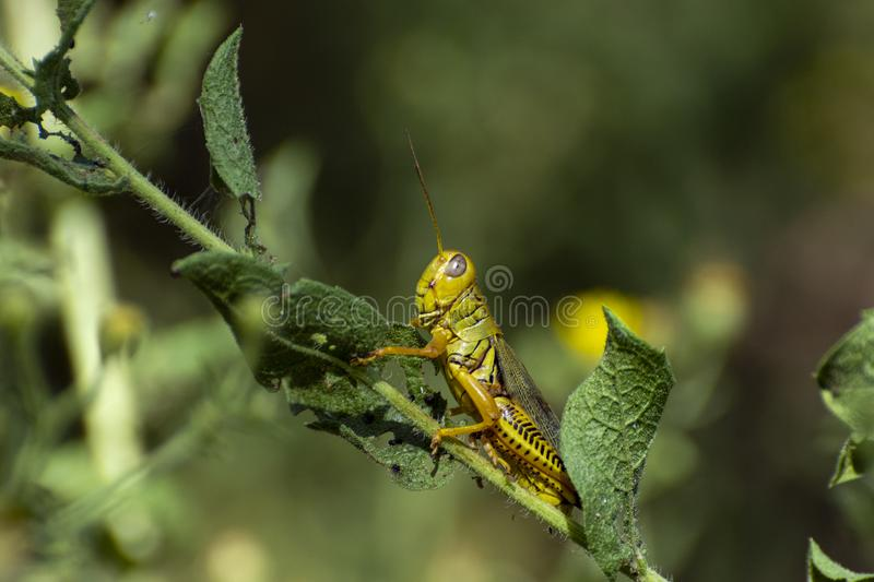 Green and yellow grasshopper on leaf. Closeup of side profile of a green and yellow Differential Grasshopper clinging to a leaf on a plant stem in a garden with stock images
