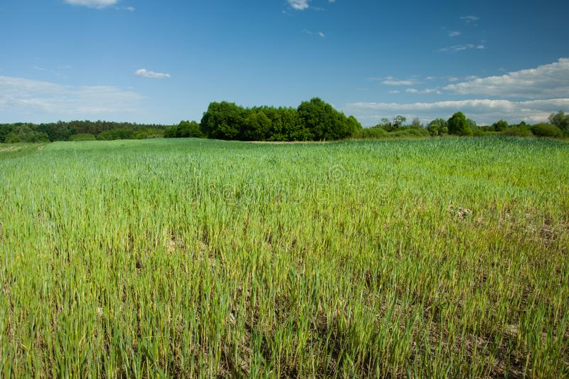Green-yellow growing cereal in a field, forest and blue sky royalty free stock image