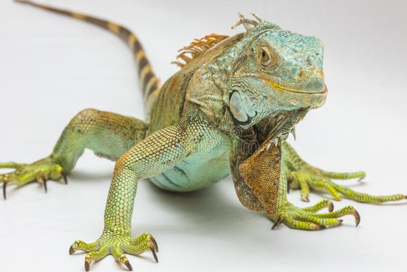 Green And Yellow Iguana Free Public Domain Cc0 Image