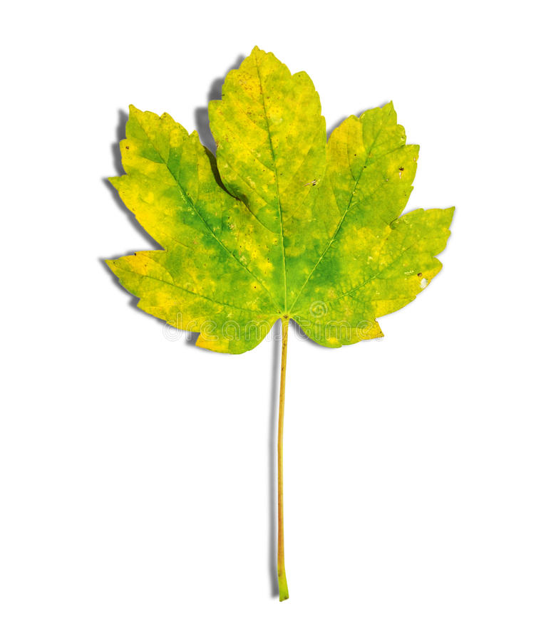 Green and yellow leaf as an autumn symbol isolated on white royalty free stock photography