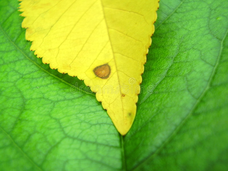 Green and yellow leaves. Macro view of small yellow leaf on textured surface of large green one stock image