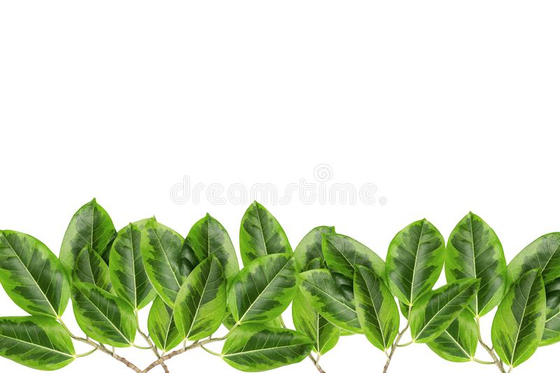 Green and yellow leaves pattern, autumn plant leaf isolated on white background,Caricature plant or Graptophyllum Pictum,Ficus stock photography