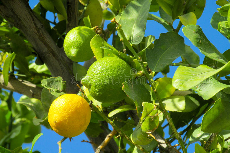 Green and yellow lemons on the tree. Green and yellow lemon citric fruits on the tree grow in the wild or in the garden, farm stock photos