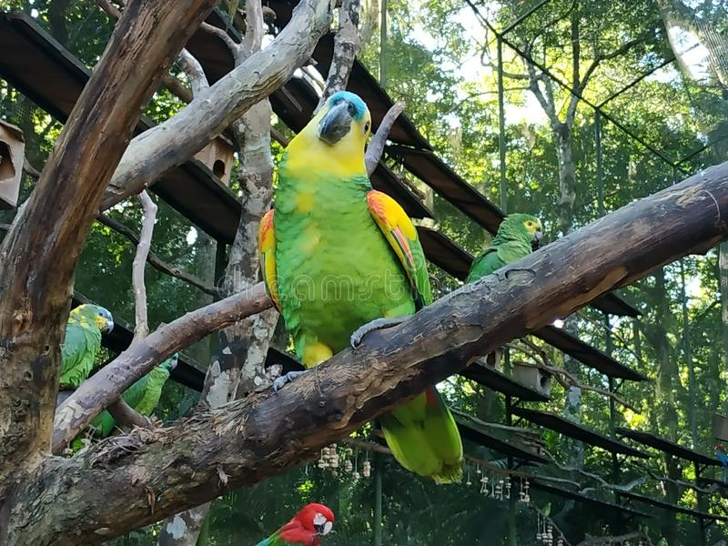 Green and yellow Macaw. Green yellow macaw bird parque das aves stock photography