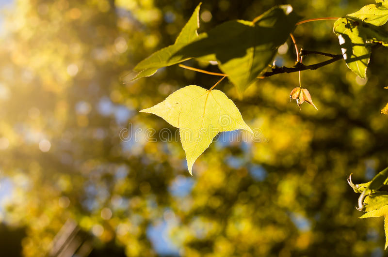 the green or yellow maple leaves on blue sky background among sunllight with nature bokeh stock photos