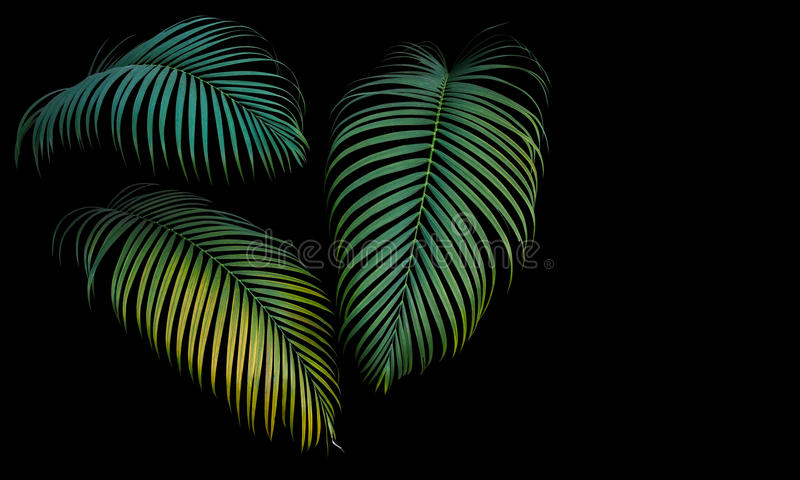 Green and yellow palm leaves, tropical plant growing in wild iso. Lated on black background stock images