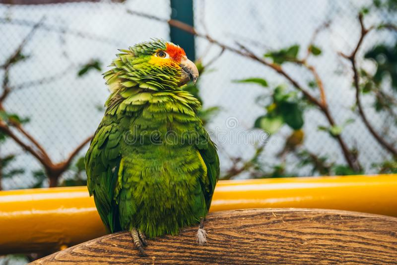Green, yellow and red parrot in an aviary. Looking up royalty free stock images