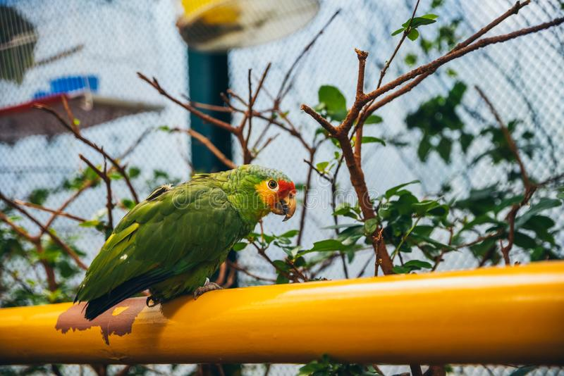 Green, yellow and red parrot in an aviary. Green, yellow and red parrot standing on an orange rail in an aviary royalty free stock photo