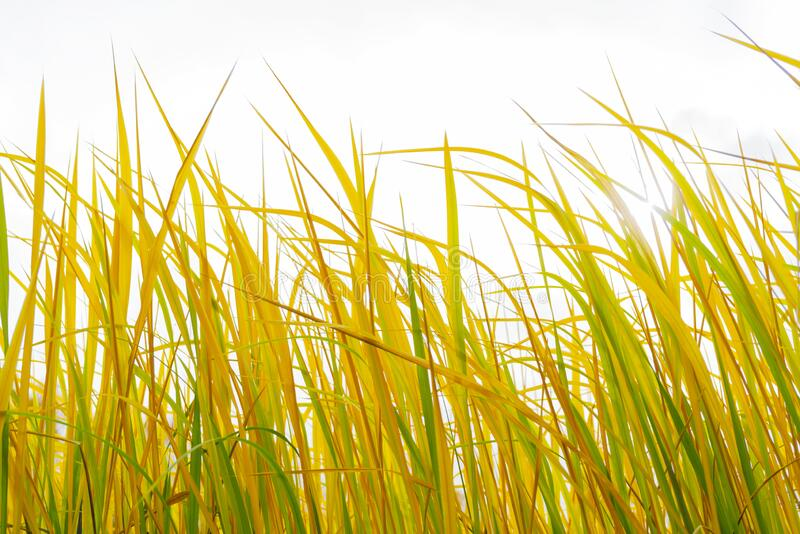 Green and yellow stems of tall grass. Floral background royalty free stock images