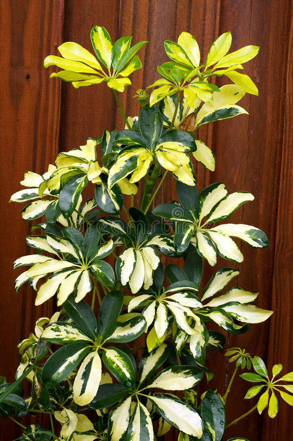Green And Yellow Umbrella Plant Stock Image - Image of ...