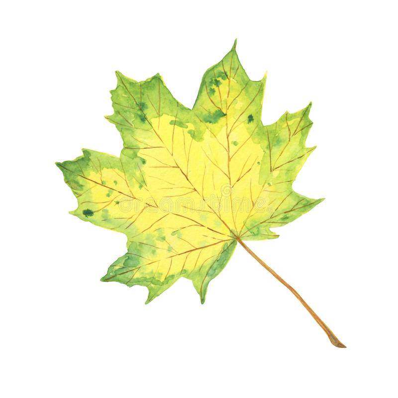 A green and yellow watercolor maple leaf, symbol of autumn, seasonal illustration. A green and yellow watercolor maple leaf, hand drawn isolated image, simple stock illustration