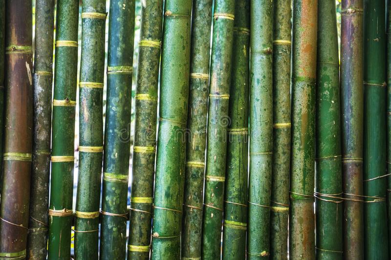 Green young bamboo background wall royalty free stock photos