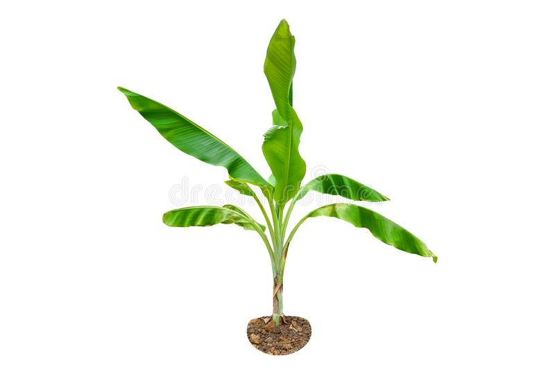 Green Young Banana tree isolated on a white background stock photo