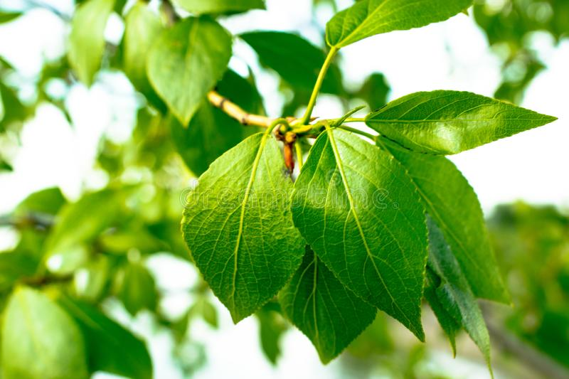 Green birch leaves on a branch stock photos