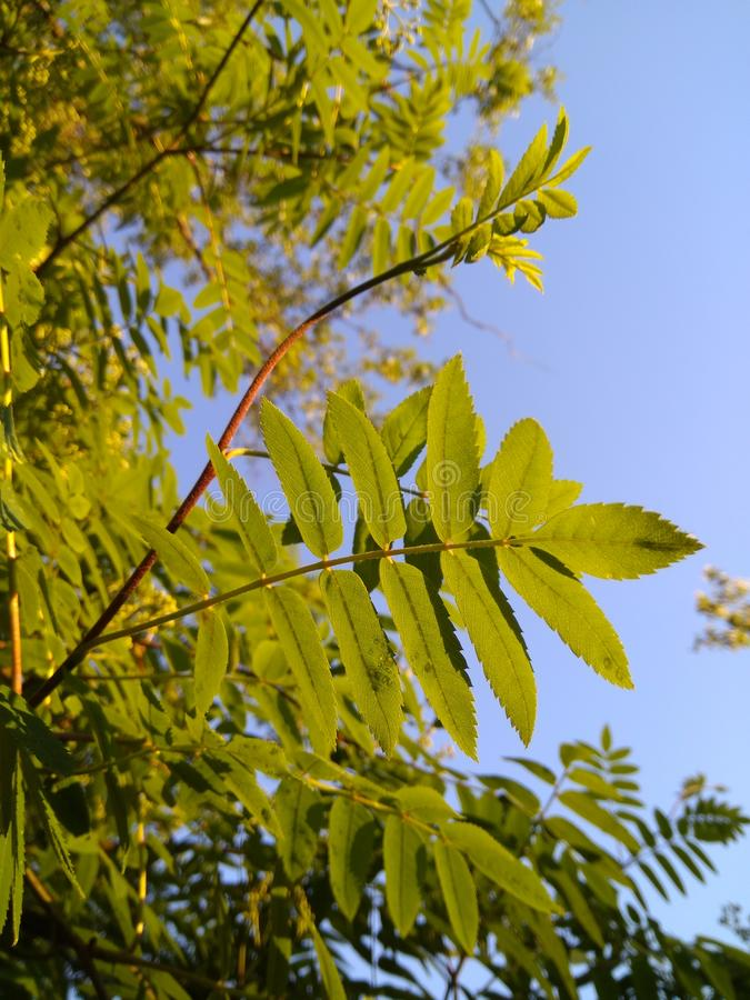 Green young leaves of mountain ash on the background of the blue sky in the rays of sunlight. Photo Green young leaves of mountain ash on the background of the stock photo