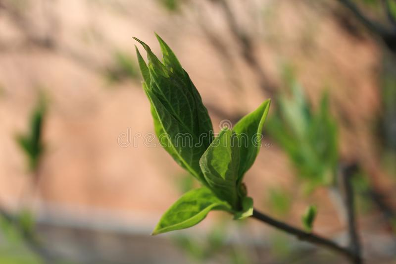 Green young leaves, tree Bud, bright background on a Sunny day. In spring royalty free stock images