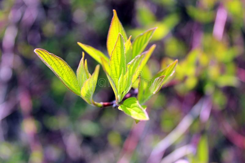 Green young leaves, tree Bud, bright background on a Sunny day. In spring stock images