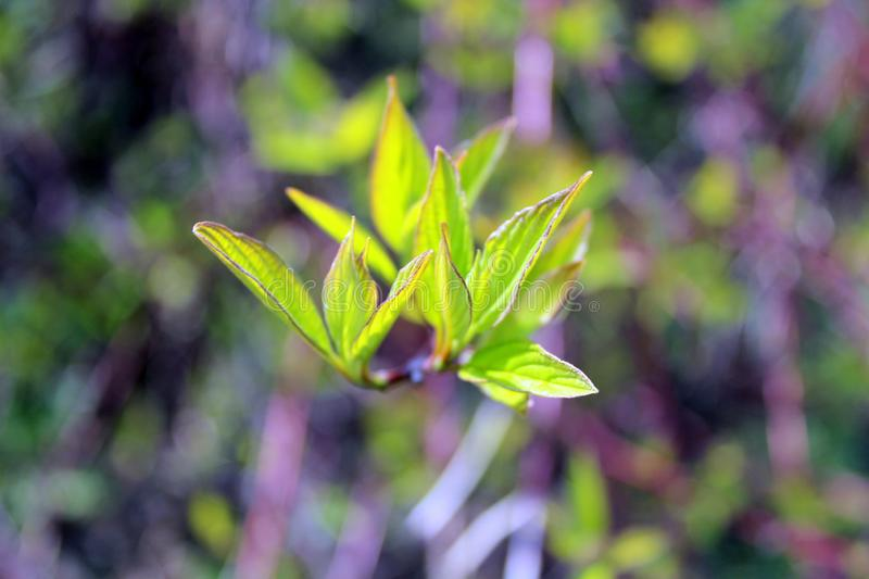 Green young leaves, tree Bud, bright background on a Sunny day. In spring stock photo