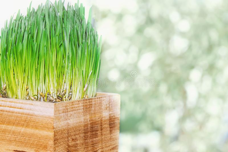 Green young oat sprouts in wooden box royalty free stock photo