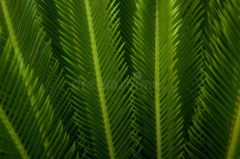 Green young palm leaves. Green floral background. Exotic plants. Only nature stock image