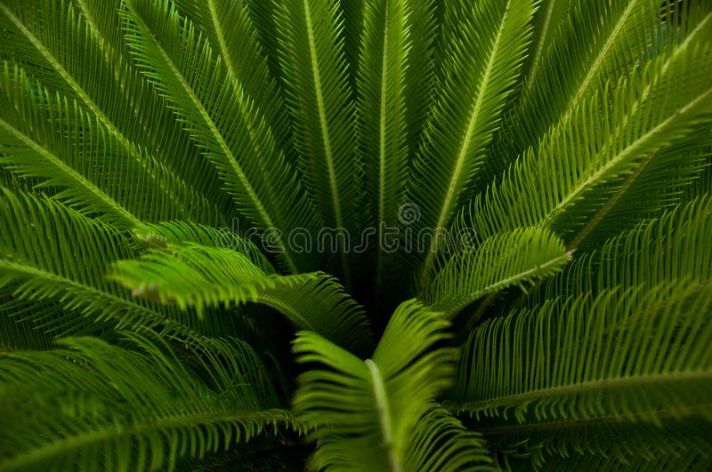 Green young palm leaves. Green floral background. Exotic plants. Only nature stock images