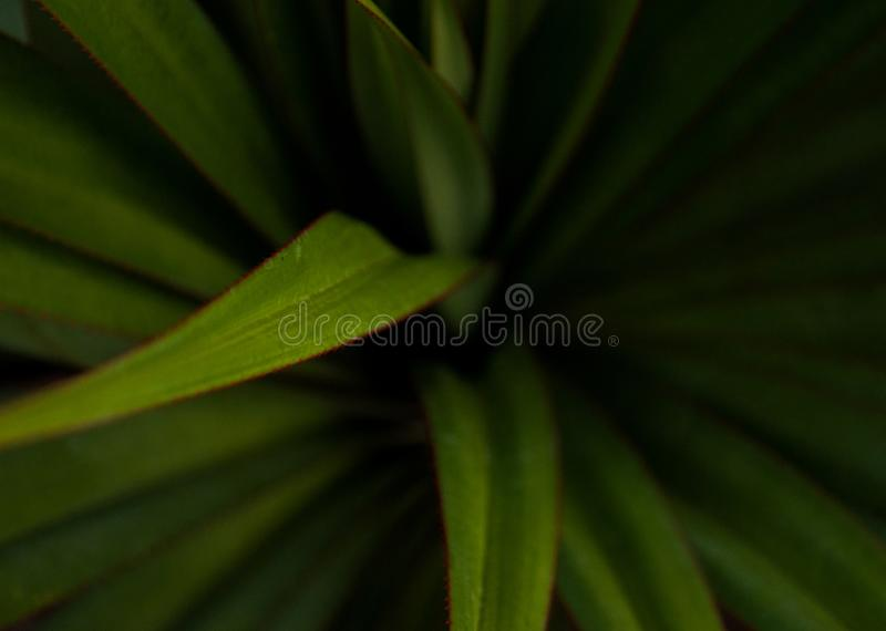 Green young palm leaves. Green floral background. Exotic plants. Only nature royalty free stock photo