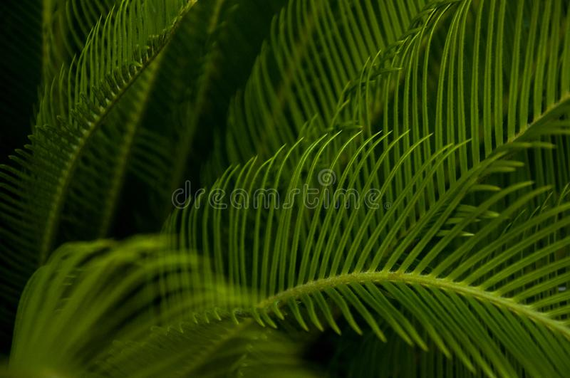 Green young palm leaves. Green floral background. Exotic plants. Only nature royalty free stock images