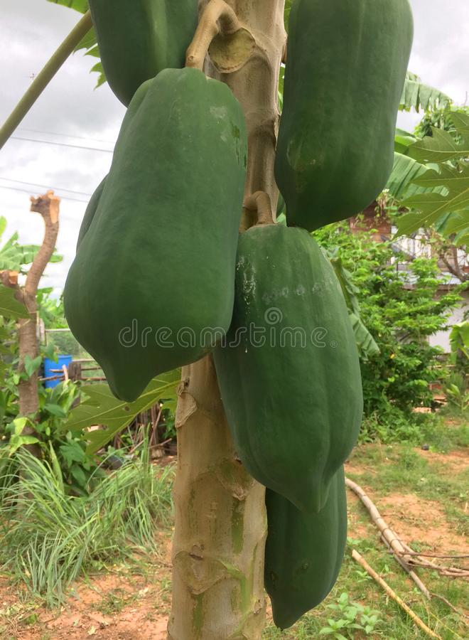 Green and young papaya tree stock photography