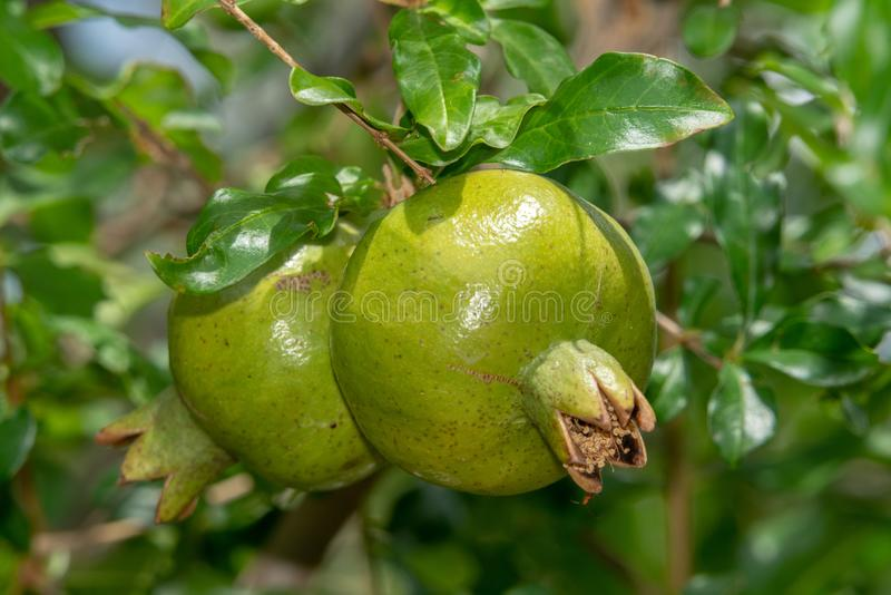 Green pomegranate fruit on the tree in the Sonoran Desert royalty free stock image