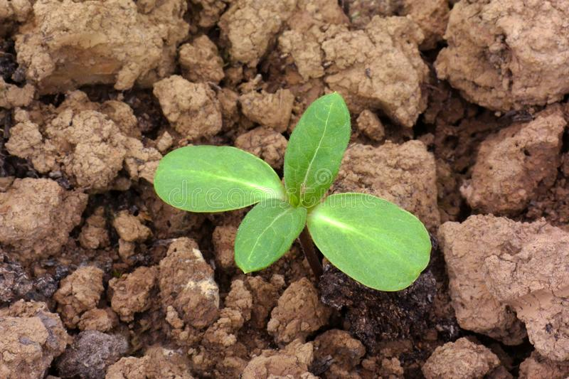 Green young seedling of plant growing out of dry unfertile soil stock photo