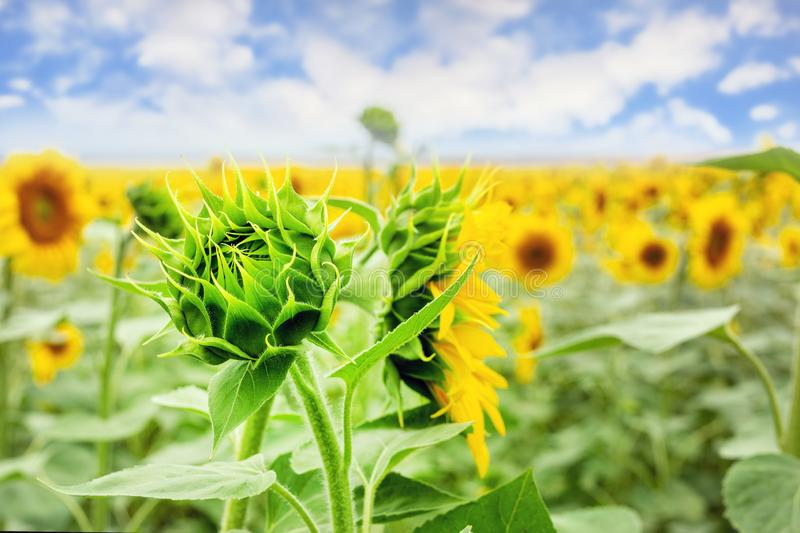 Green young sunflower bud on field with blue sky on background. Natural flower pattern.  royalty free stock images