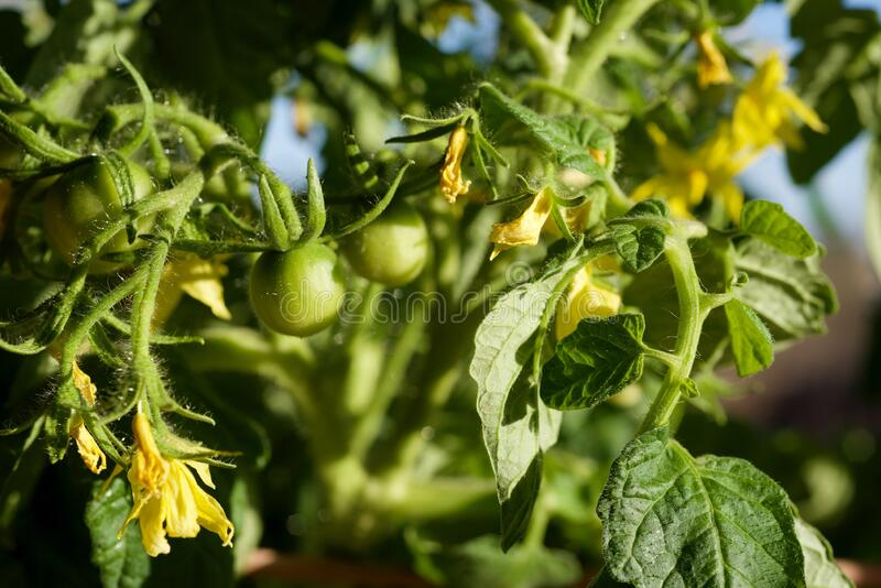 Green young tomatoes in spring on a bush royalty free stock photography