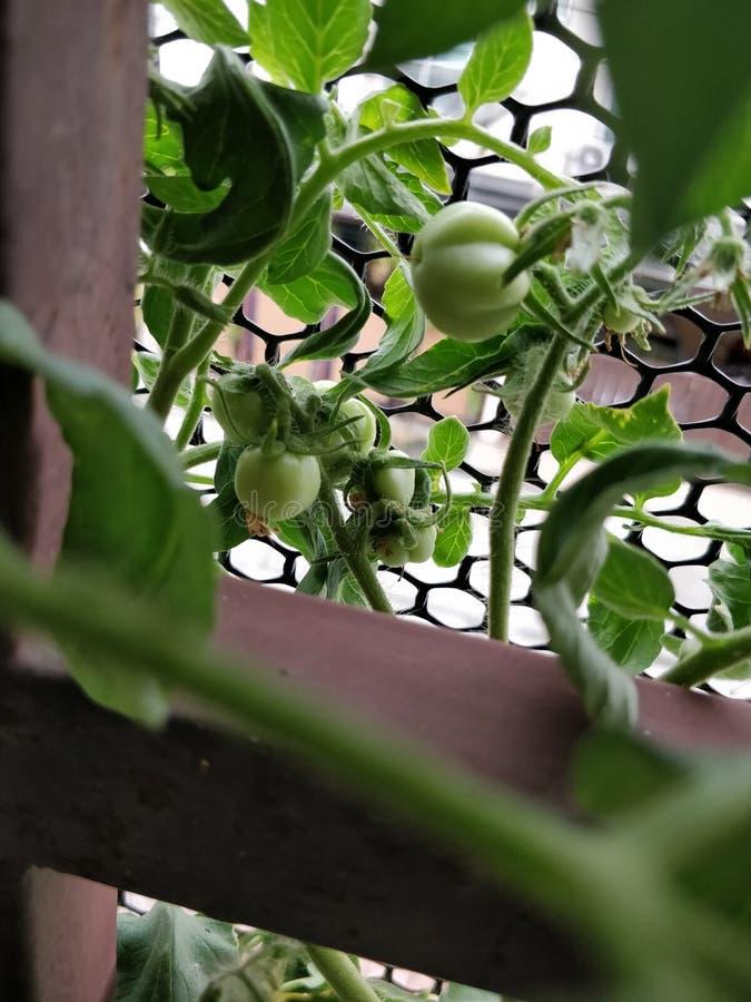 Green young tomatos stock photos