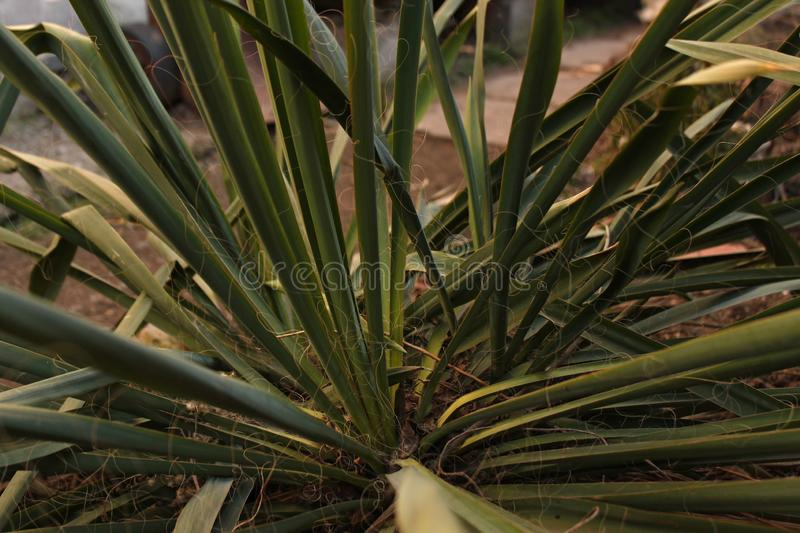 Green Yucca plant leaves grows on a bed in the yard stock photo