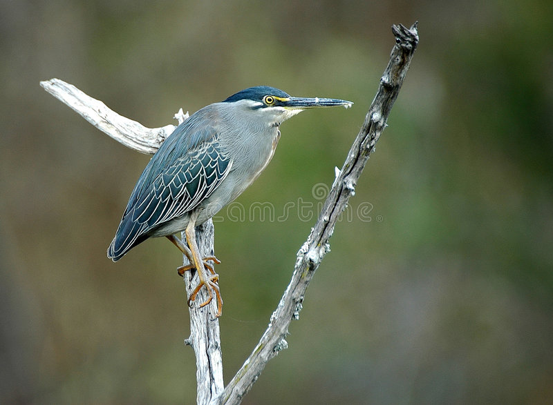 Greenbacked Heron. At Kruger National park, South Africa stock photo