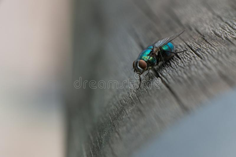 A greenbottle fly is a blow fly with brilliant, metallic, blue green colour. Close-up of tiny diptera. A greenbottle fly, Lucilia sericata, is a blow fly with royalty free stock photo
