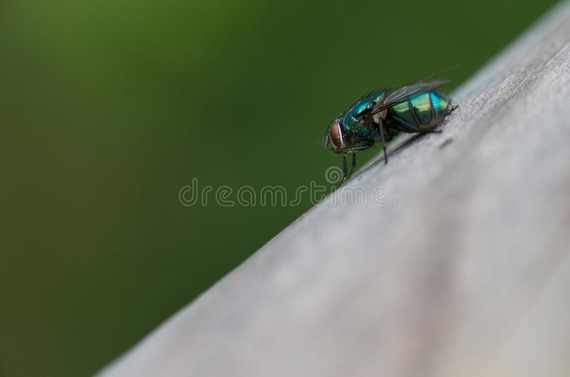A greenbottle fly, Lucilia sericata, is a blow fly with brilliant, metallic, blue green colour. Close-up of tiny diptera, macro stock photo