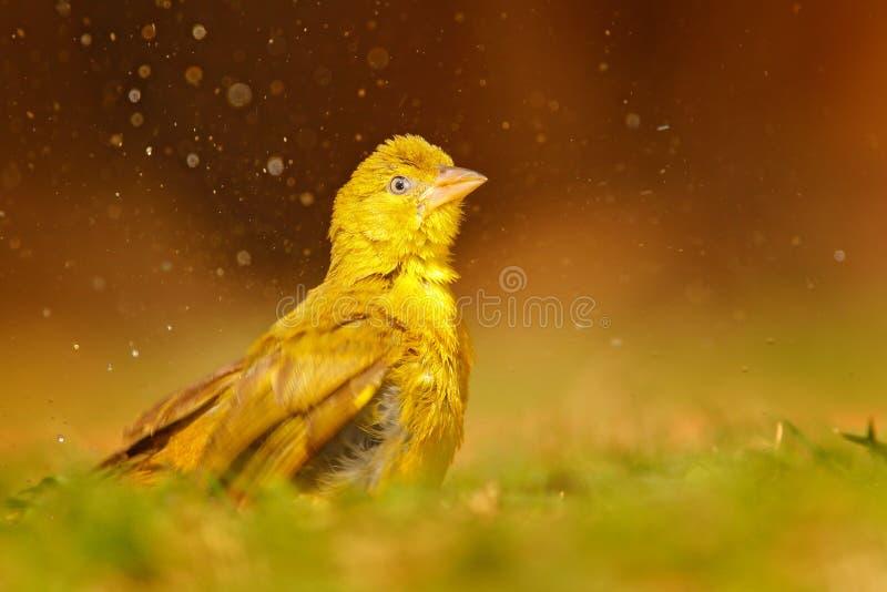 Greenbul Jaune-gonflé, flaviventris de Chlorocichla, oiseau africain de chanson éclaboussant dans l'eau, herbe verte d'été, habit image libre de droits