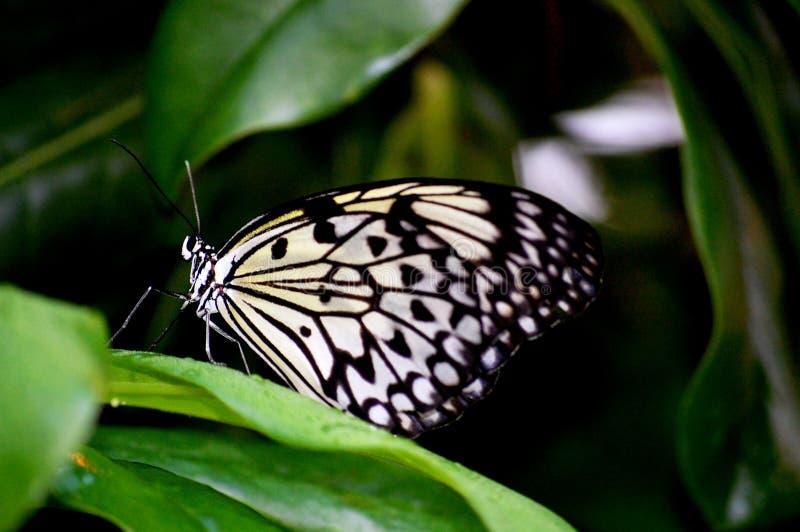 greenery бабочки завертывает рис в бумагу стоковые фотографии rf