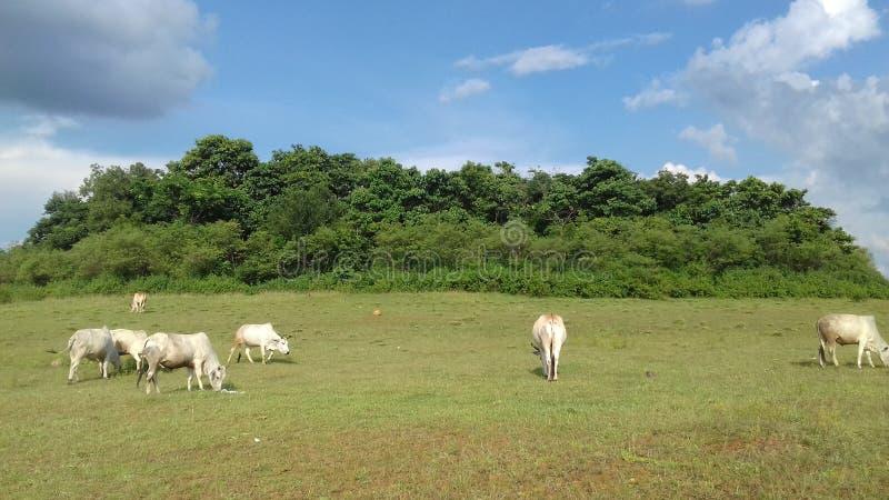 Greenery Blu sky é um campo de gado largo imagens de stock
