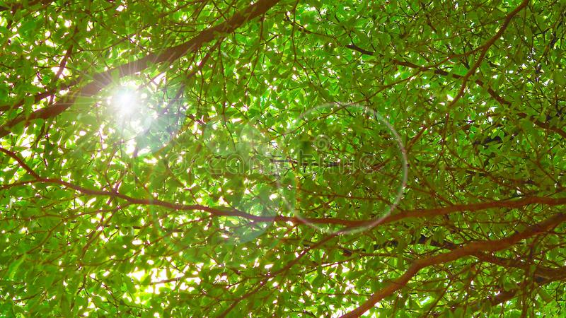 Greenery green leaf branches with ecology fresh air up view in park with sunlight ray stock photo