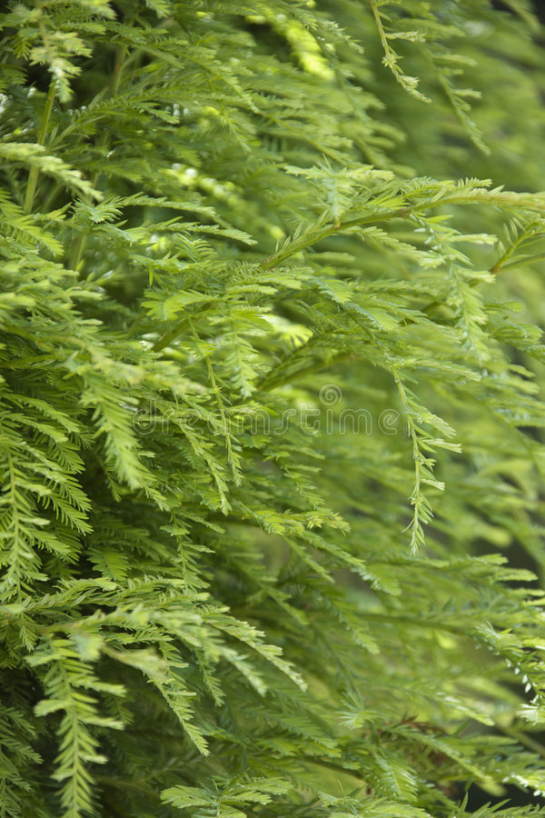 Greenery on Redwood tree stock photography