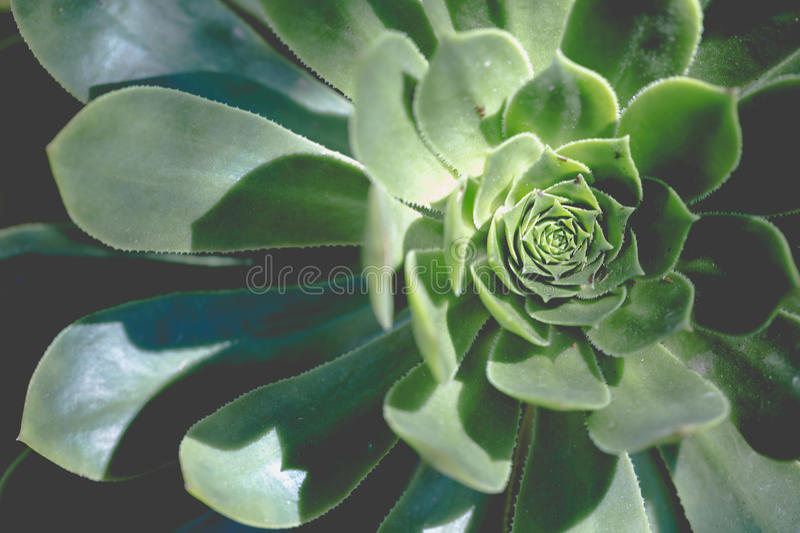 Greenery round swirl succulent extreme macro horizontal shot. Greenery round swirl succulent with flat petals extreme macro horizontal shot in faded saturated royalty free stock images