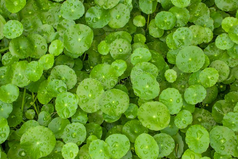 Greenery umbrella shape leaf of Water pennywort with raindrops on circle leaves, this plant know as Marsh Penny or Indian royalty free stock photo