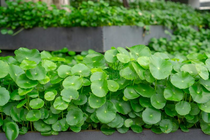 Greenery umbrella shape leaves of Water pennywort in black flowerbase know as Marsh Penny or Indian pennywort stock photo