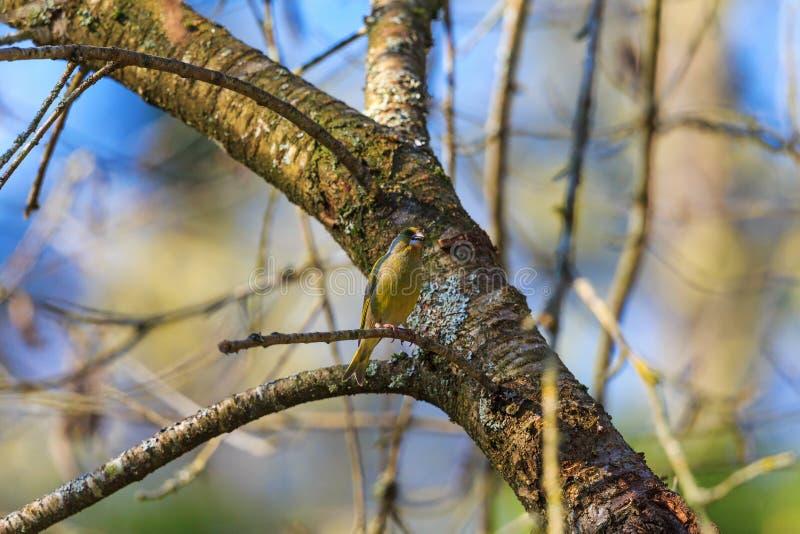 Greenfich w drzewie obrazy royalty free