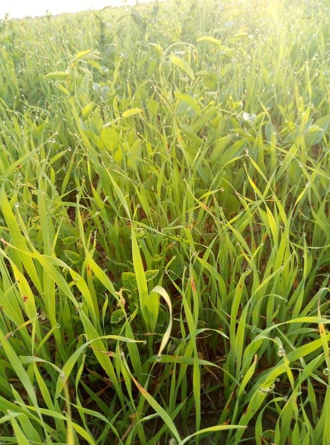 Greenfield, Steppe, Sonnenaufgang, Tau, Gras lizenzfreie stockbilder