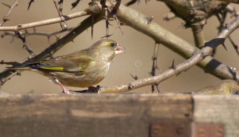 greenfinch冬天 免版税库存照片